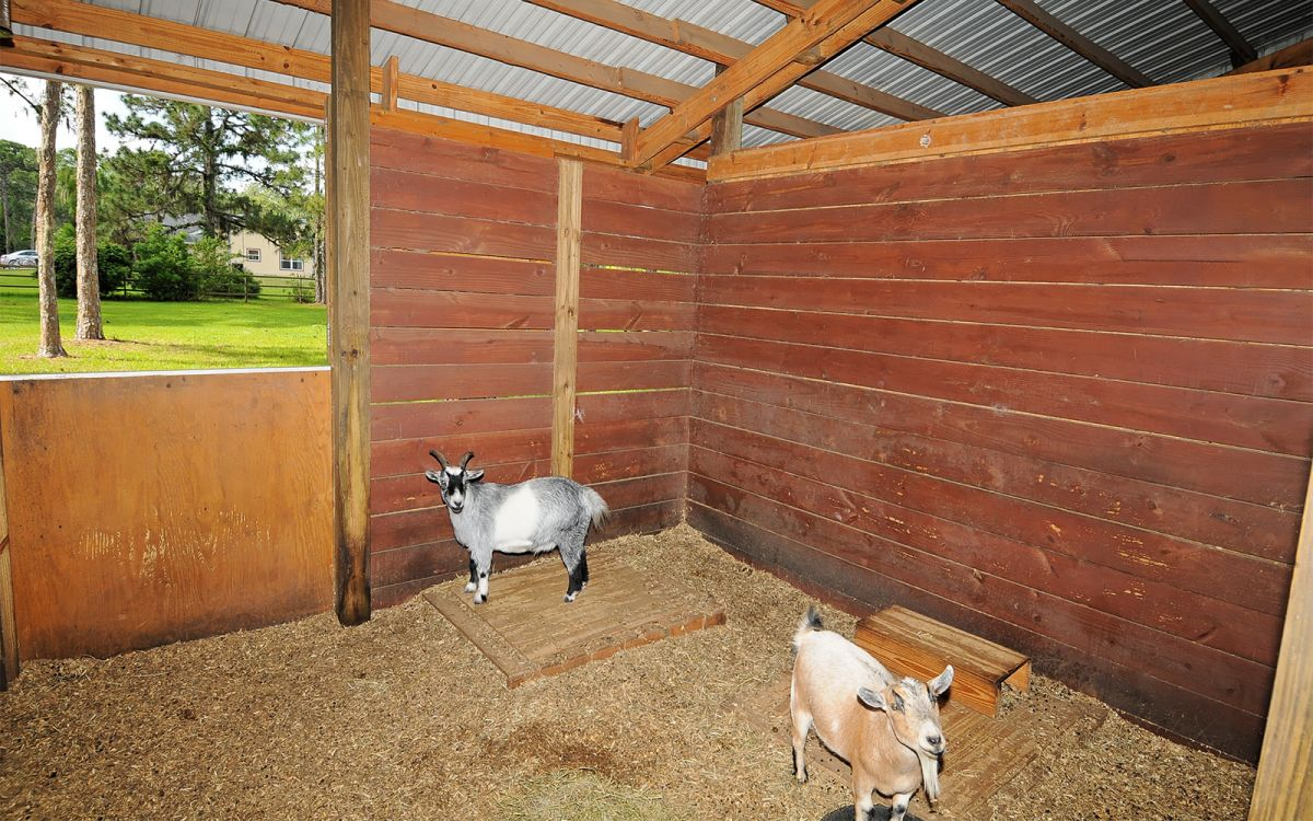 Pygmy Goats Houdini and Herman
